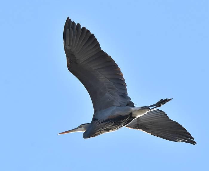 sleeping great blue herons iona beach bc