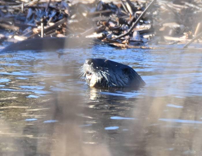 river otter iona beach bc