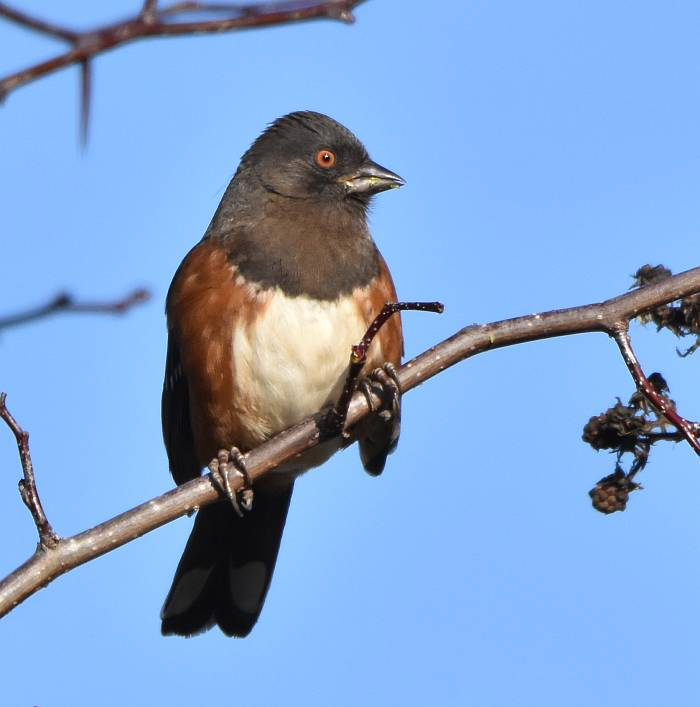 spotted towhee iona beach bc