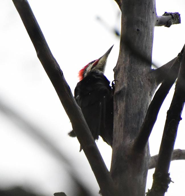 pileated woodpecker byrne creek burnaby bc