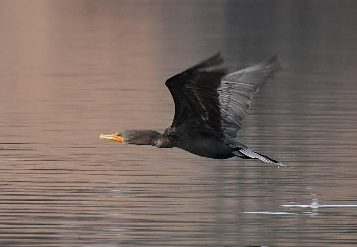 pelagic cormorant deer lake burnaby bc
