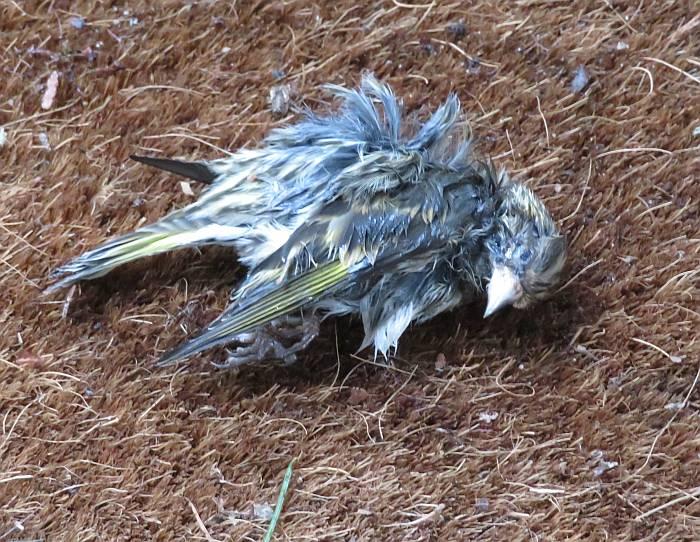 dead pine siskin burnaby bc