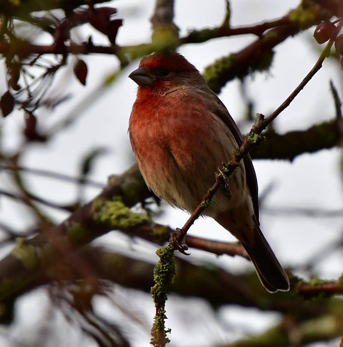 house finch south surrey bc