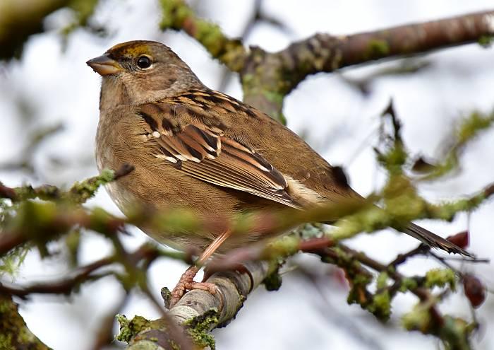 golden-crowned sparrow surrey bc