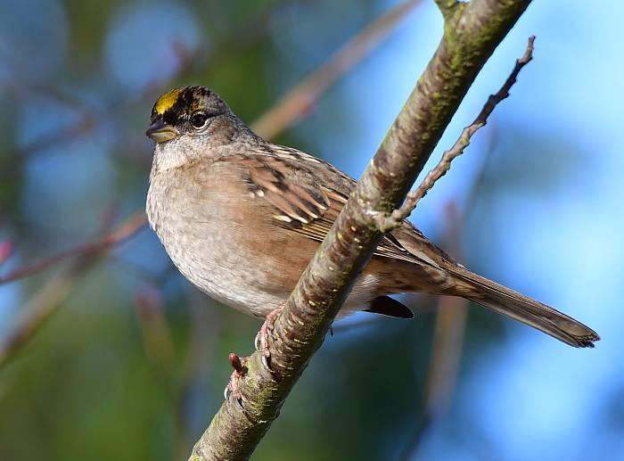 golden-crowned sparrow burnaby bc
