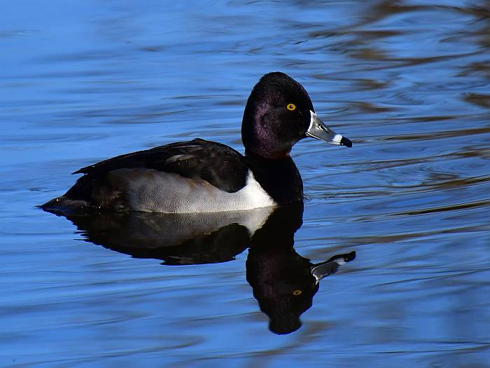 ring-necked duck burnaby bc