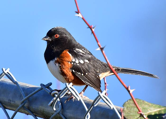 spotted towhee burnaby bc
