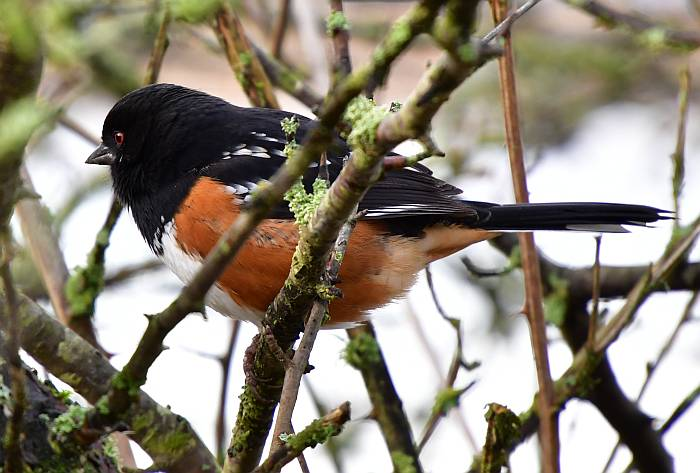 spotted towhee surrey bc