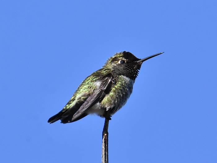 anna's hummingbird iona beach yvr