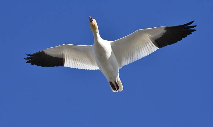 snow goose iona beach yvr