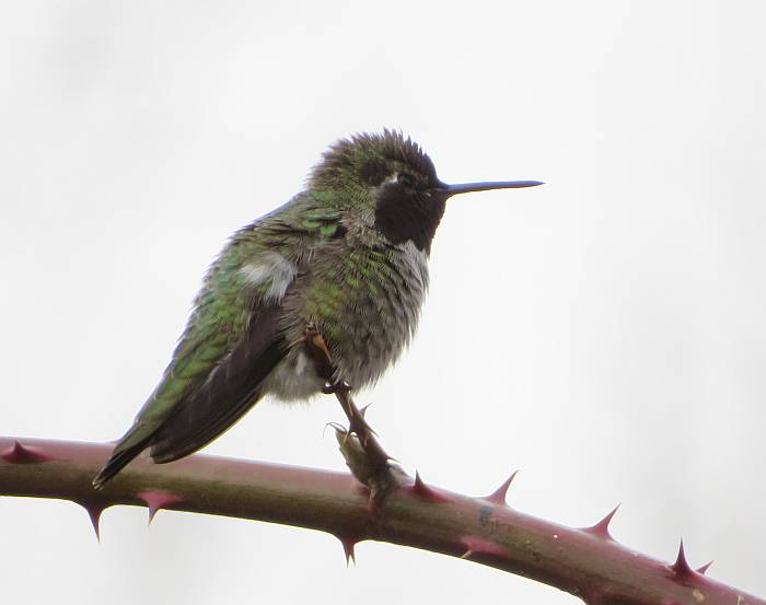 anna's hummingbird taylor park burnaby bc