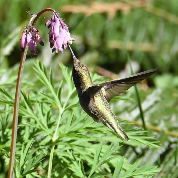 anna's hummingbird byrne creek burnaby bc