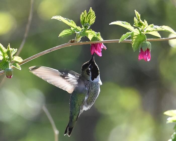 anna's hummingbird salmonberry blossoms burnaby bc