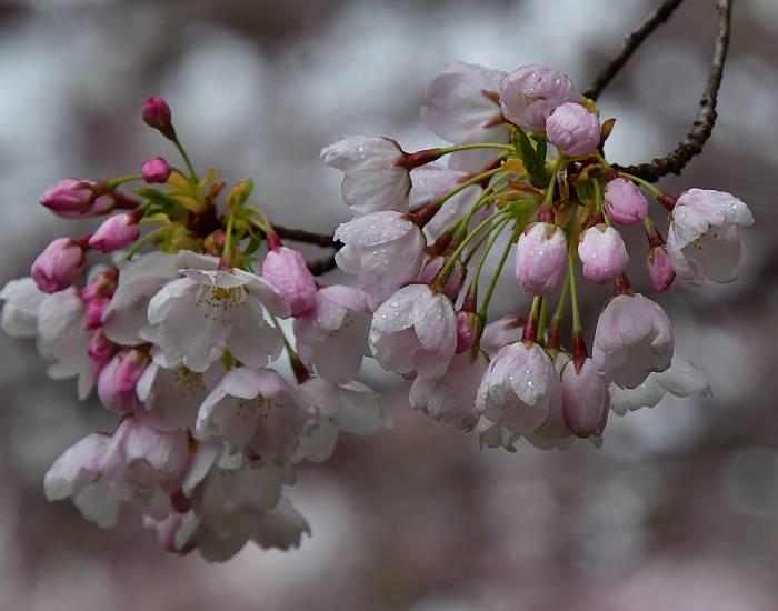 blossoms rain burnaby bc