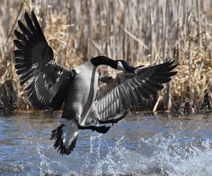 canada geese burnaby lake