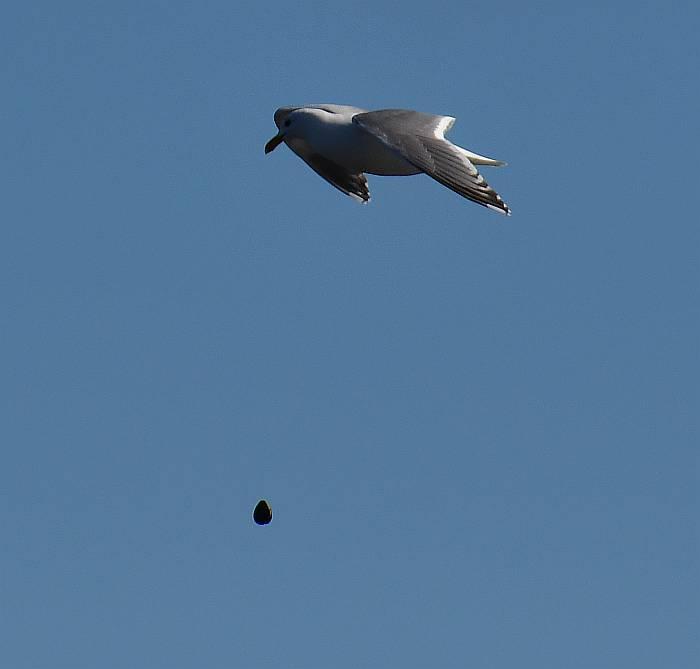 gulls heron harrier centennial bach delta bc