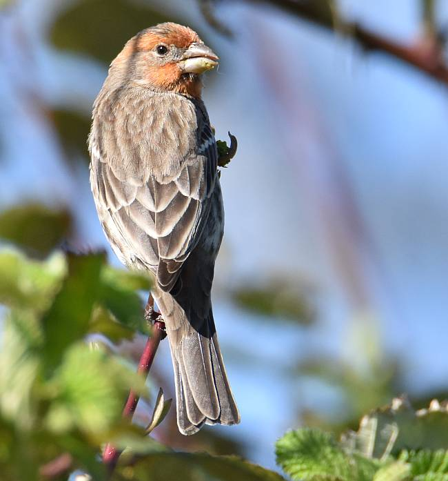 house finch burnaby bc