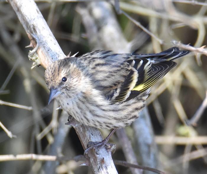 pine siskin burnaby bc