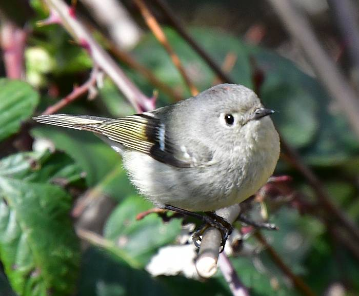 ruby-crowned kinglet burnaby bc