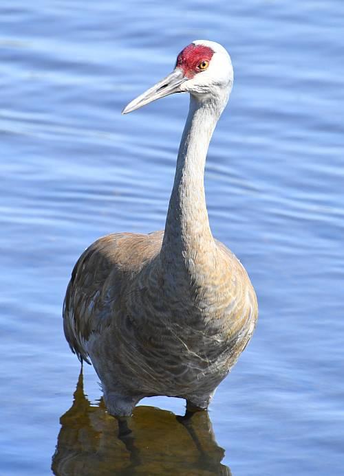 sandhill crane burnaby bc
