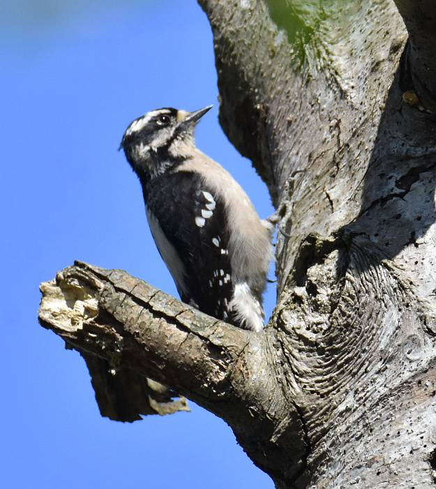 downy woodpecker fraser foreshore park burnaby bc