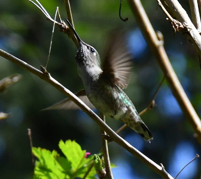anna's hummingbirds deer lake burnaby bc