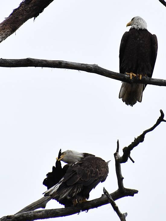 dirty bald eagles preening burnaby bc