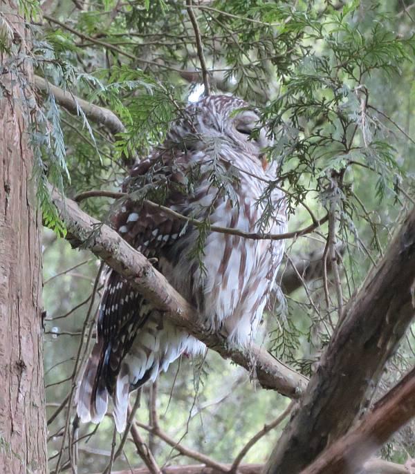 barred owls burnaby bc