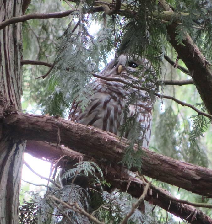 barred owl byrne creek burnaby bc