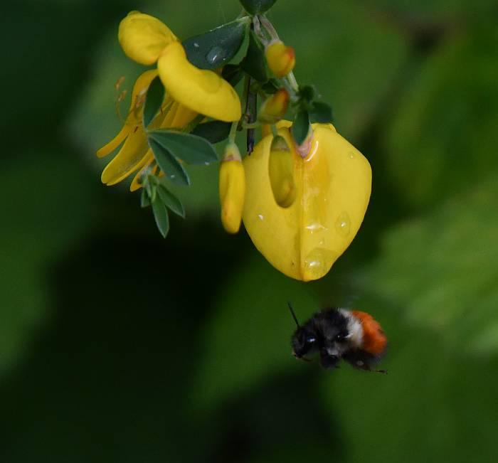 bumblebee scotch broom burnaby bc