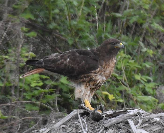 red-tailed hawk fraser foreshore burnaby vancouver bc