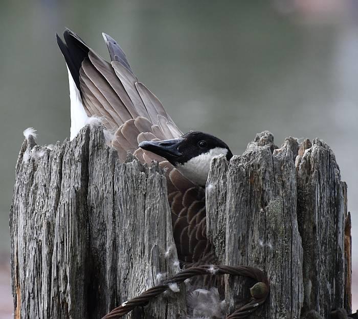 canada goose nesting piling fraser river burnaby