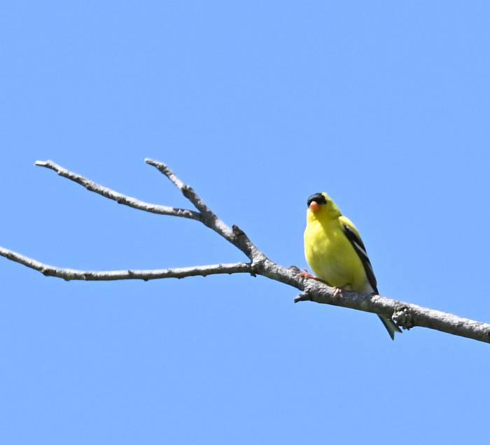 american goldfinch burnaby bc