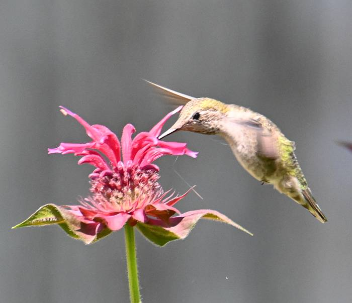 annas hummingbird surrey bc