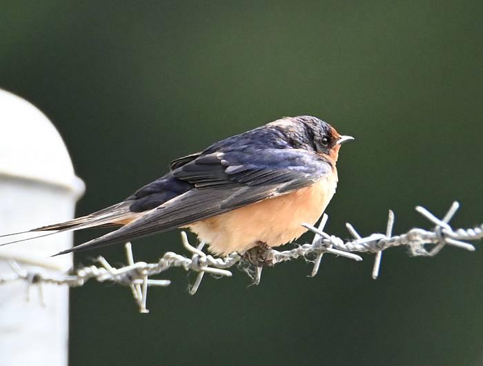 barn swallow deas island bc