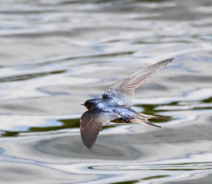 barn swallow delta bc