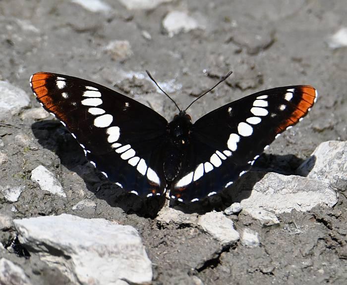 butterflies moths pemberton bc