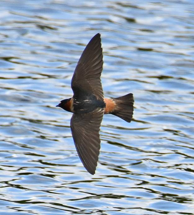 cliff swallows delta bc