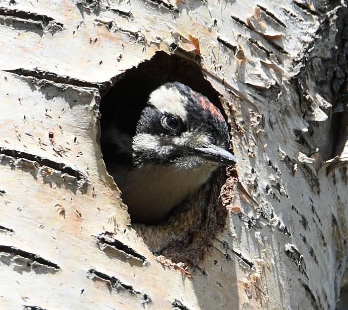 downy woodpecker birkenhead lake bc