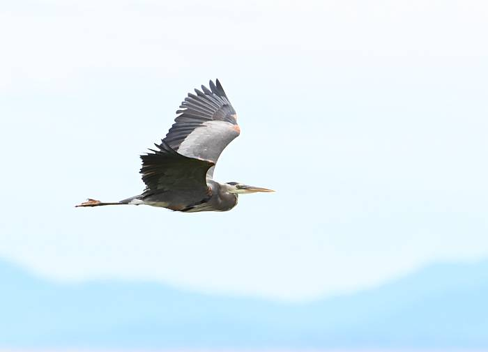 great blue heron delta bc