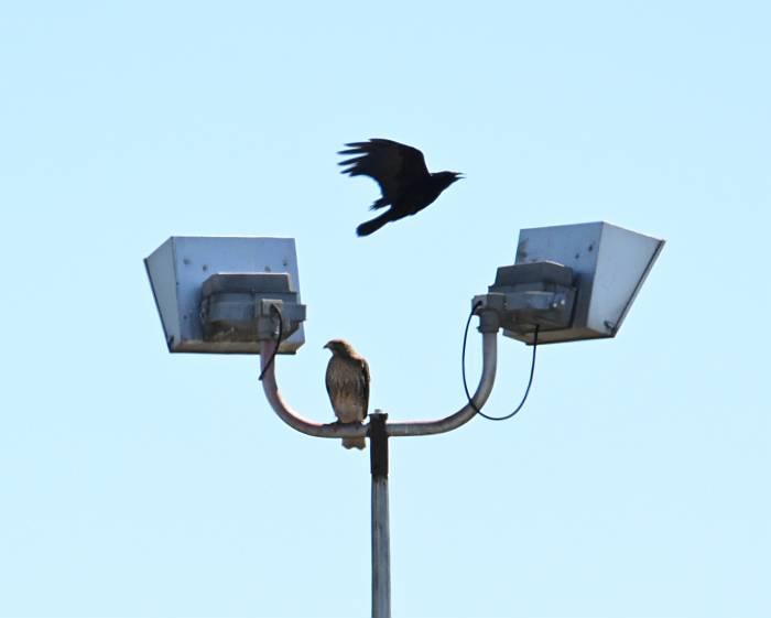 hawk crows taylor park burnaby bc