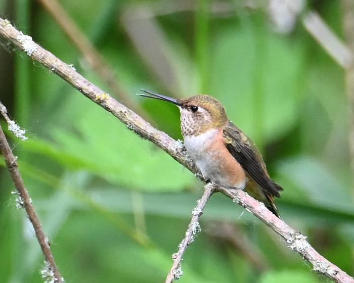 hummingbird deas island bc