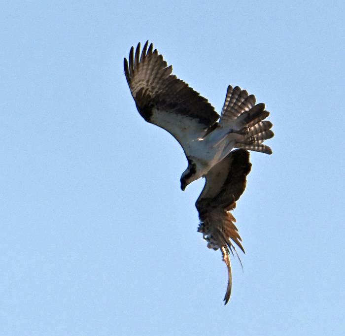 osprey pemberton bc
