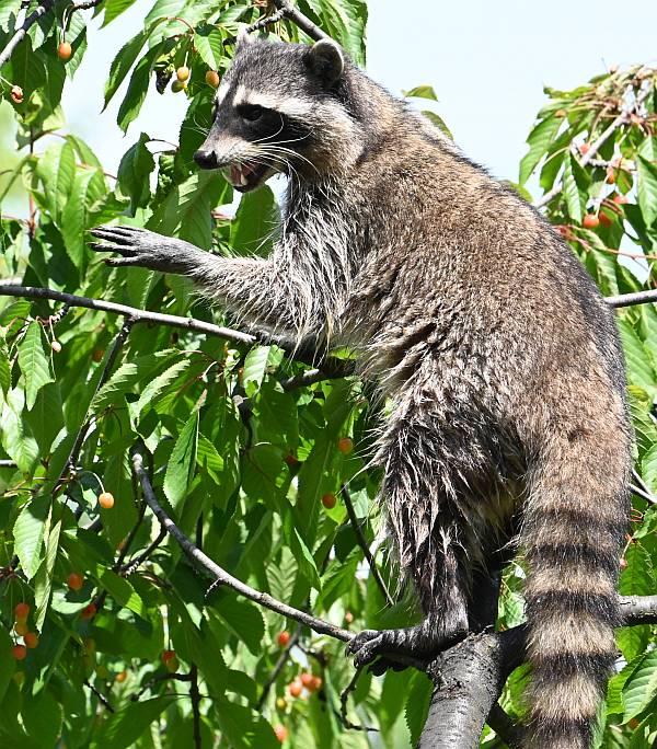 raccoons burnaby bc