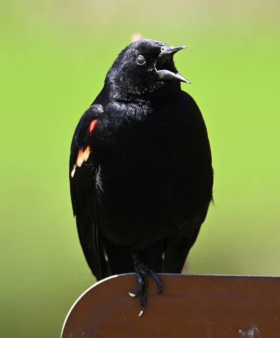 red-winged blackbird burnaby bc