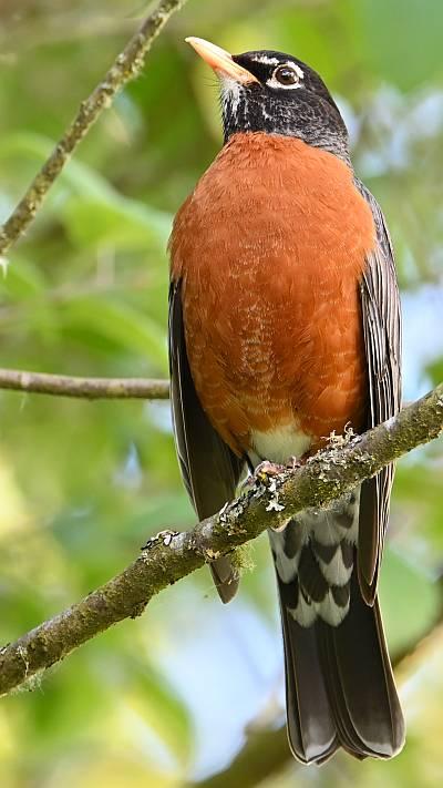 american robin burnaby bc