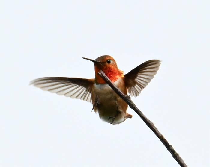 rufous hummingbird delta bc