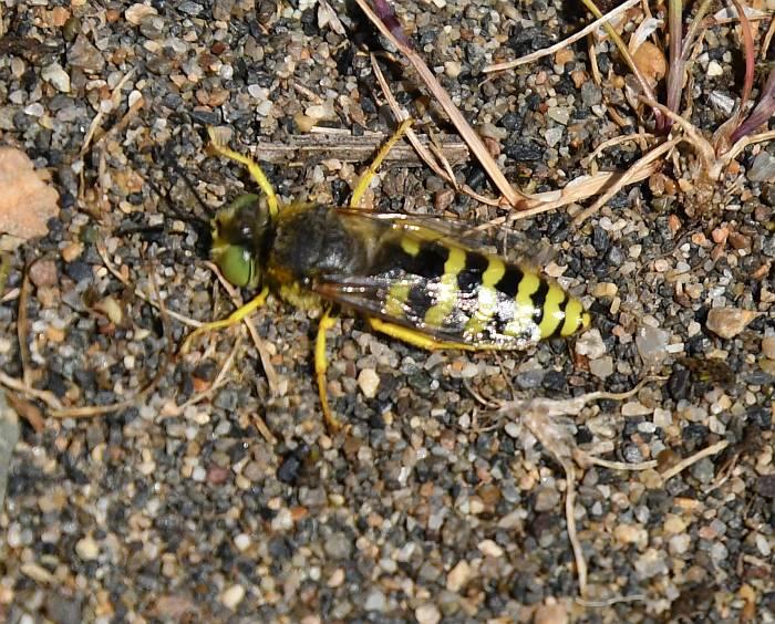 sand wasp iona beach yvr
