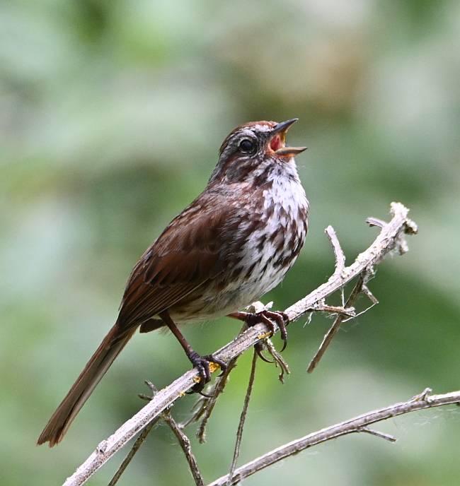 song sparrow deas island bc
