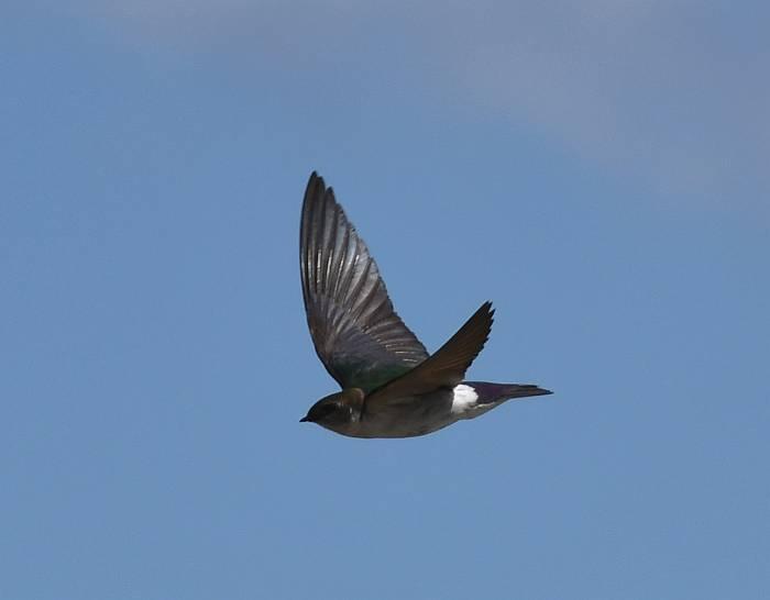 violet-green swallow burnaby bc